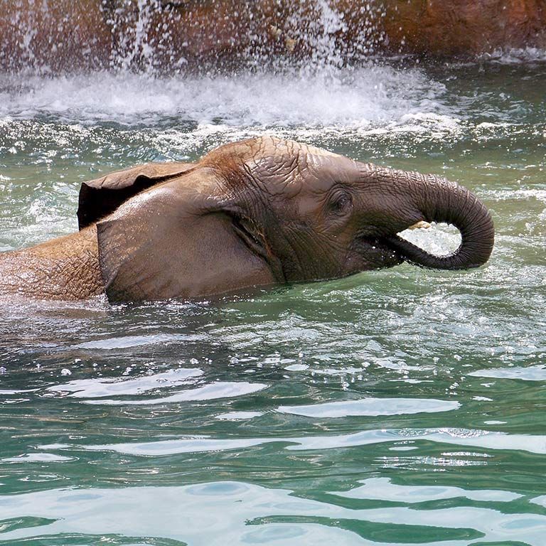 An elephant swims at the Indianapolis Zoo.